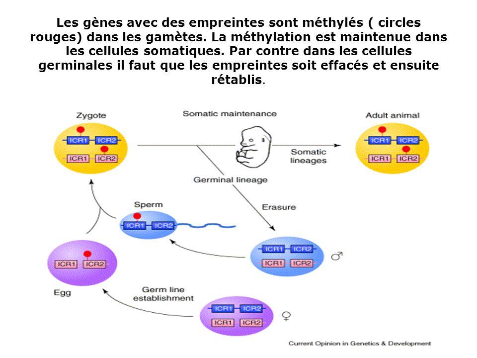 Les gènes avec des empreintes sont méthylés ( circles rouges) dans les gamètes. La méthylation est maintenue dans les cellules somatiques. Par contre