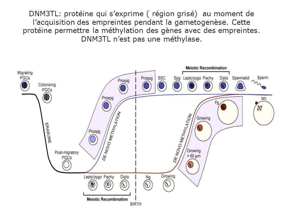DNM3TL: protéine qui sexprime ( région grisé) au moment de lacquisition des empreintes pendant la gametogenèse. Cette protéine permettre la méthylatio