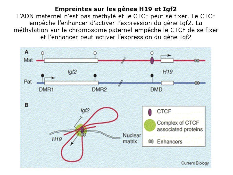 Empreintes sur les gènes H19 et Igf2 LADN maternel nest pas méthylé et le CTCF peut se fixer. Le CTCF empêche lenhancer dactiver lexpression du gène I