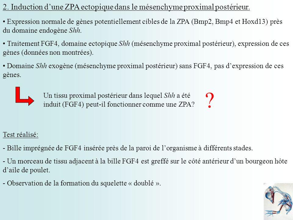2. Induction dune ZPA ectopique dans le mésenchyme proximal postérieur. Expression normale de gènes potentiellement cibles de la ZPA (Bmp2, Bmp4 et Ho