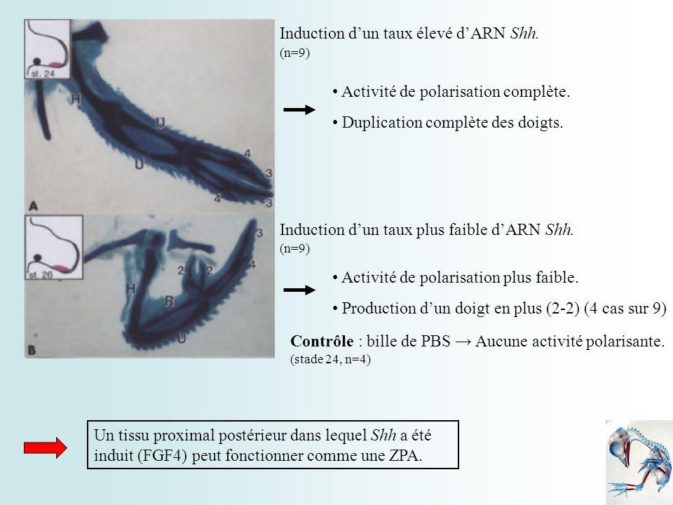 Activité de polarisation complète. Duplication complète des doigts. Induction dun taux élevé dARN Shh. Induction dun taux plus faible dARN Shh. Activi