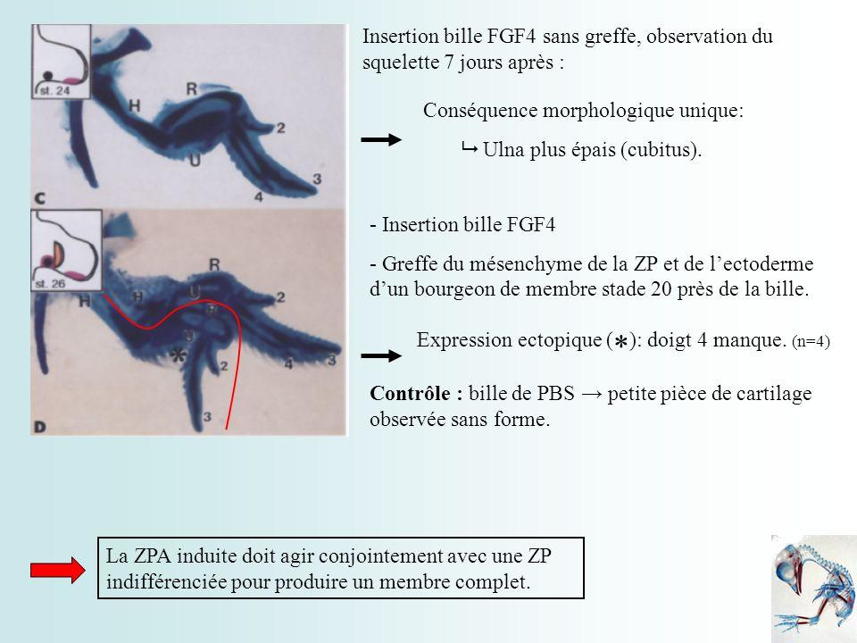 Insertion bille FGF4 sans greffe, observation du squelette 7 jours après : Conséquence morphologique unique: Ulna plus épais (cubitus). - Insertion bi