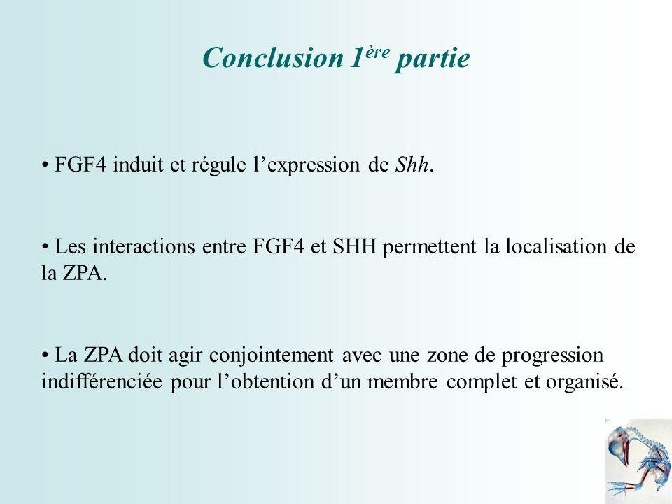 Conclusion 1 ère partie FGF4 induit et régule lexpression de Shh. Les interactions entre FGF4 et SHH permettent la localisation de la ZPA. La ZPA doit