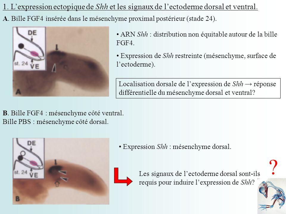 1. Lexpression ectopique de Shh et les signaux de lectoderme dorsal et ventral. ARN Shh : distribution non équitable autour de la bille FGF4. Expressi