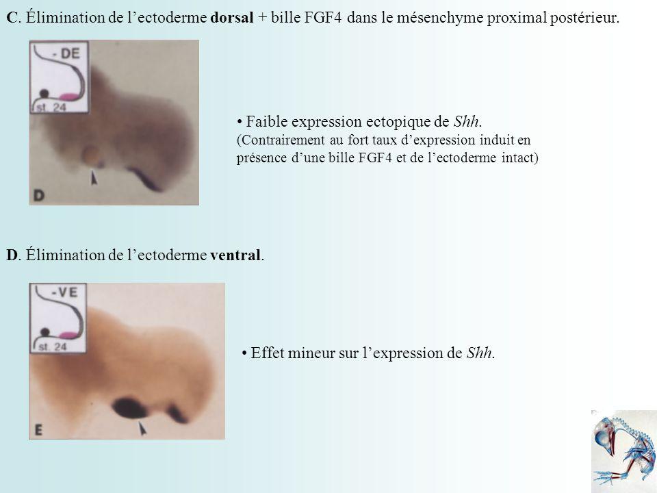C. Élimination de lectoderme dorsal + bille FGF4 dans le mésenchyme proximal postérieur. Faible expression ectopique de Shh. (Contrairement au fort ta