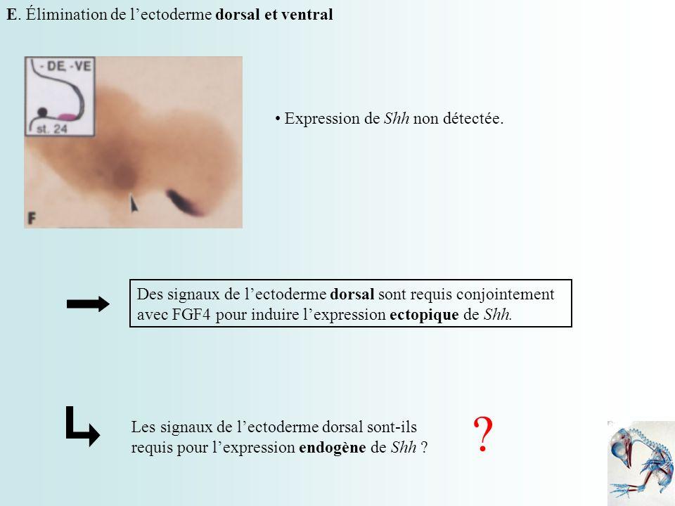 E. Élimination de lectoderme dorsal et ventral Expression de Shh non détectée. Des signaux de lectoderme dorsal sont requis conjointement avec FGF4 po