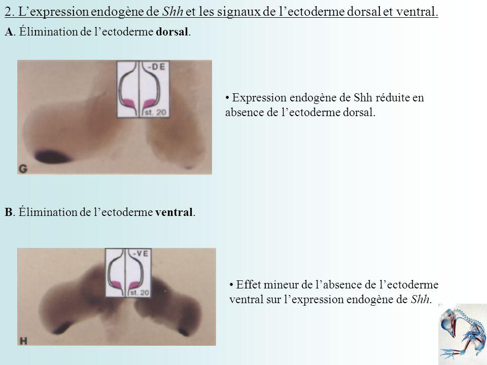 2. Lexpression endogène de Shh et les signaux de lectoderme dorsal et ventral. A. Élimination de lectoderme dorsal. Expression endogène de Shh réduite