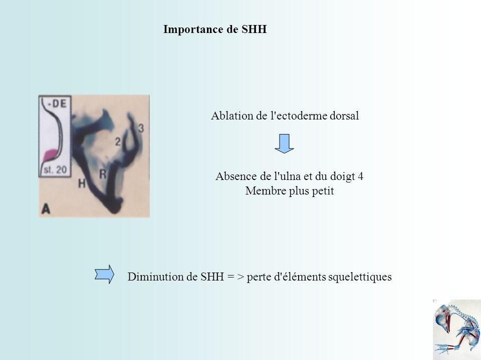 Ablation de l'ectoderme dorsal Absence de l'ulna et du doigt 4 Membre plus petit Diminution de SHH = > perte d'éléments squelettiques Importance de SH