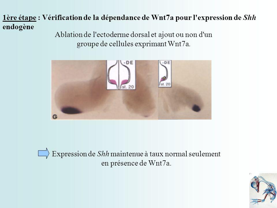 1ère étape : Vérification de la dépendance de Wnt7a pour l'expression de Shh endogène Ablation de l'ectoderme dorsal et ajout ou non d'un groupe de ce