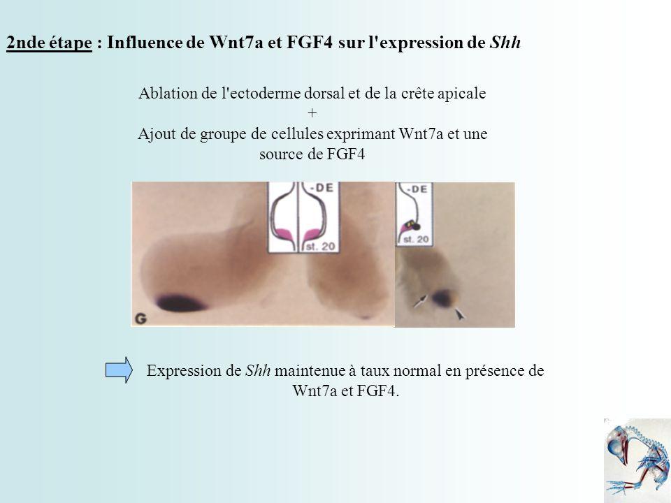 2nde étape : Influence de Wnt7a et FGF4 sur l'expression de Shh Ablation de l'ectoderme dorsal et de la crête apicale + Ajout de groupe de cellules ex