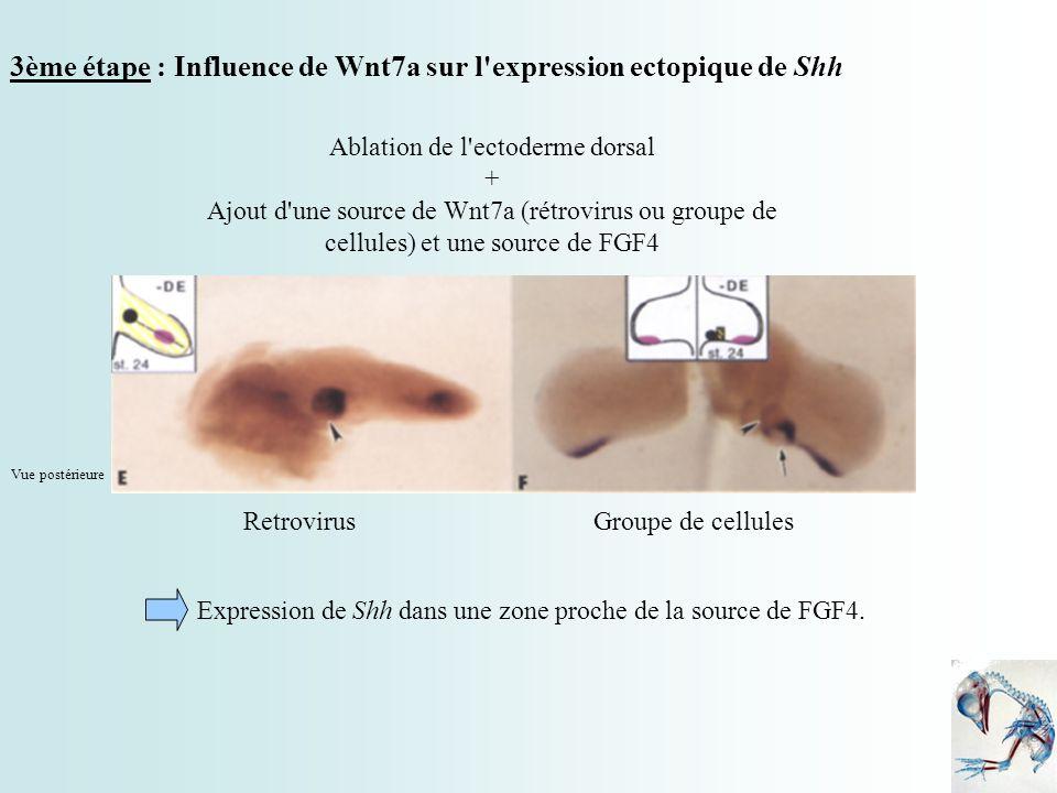 3ème étape : Influence de Wnt7a sur l'expression ectopique de Shh Ablation de l'ectoderme dorsal + Ajout d'une source de Wnt7a (rétrovirus ou groupe d