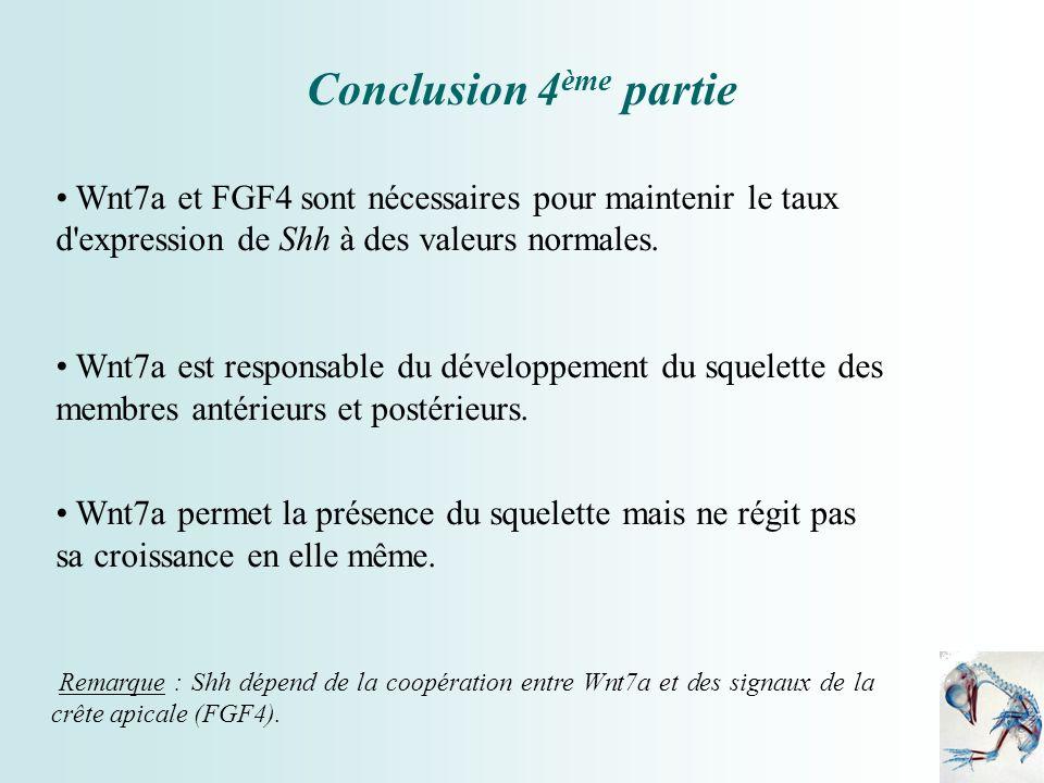 Wnt7a et FGF4 sont nécessaires pour maintenir le taux d'expression de Shh à des valeurs normales. Wnt7a est responsable du développement du squelette