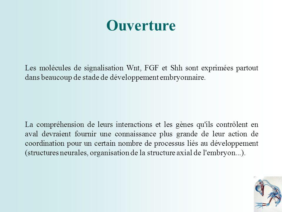 Les molécules de signalisation Wnt, FGF et Shh sont exprimées partout dans beaucoup de stade de développement embryonnaire. La compréhension de leurs