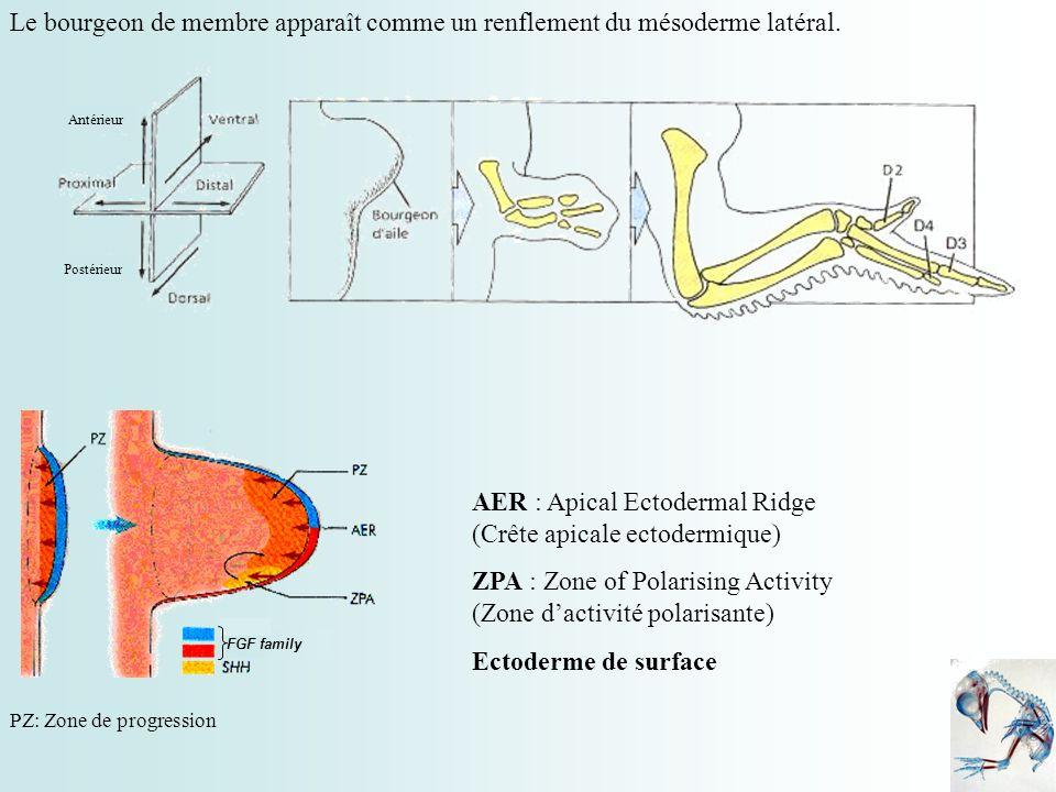 Le bourgeon de membre apparaît comme un renflement du mésoderme latéral. Antérieur Postérieur FGF family AER : Apical Ectodermal Ridge (Crête apicale
