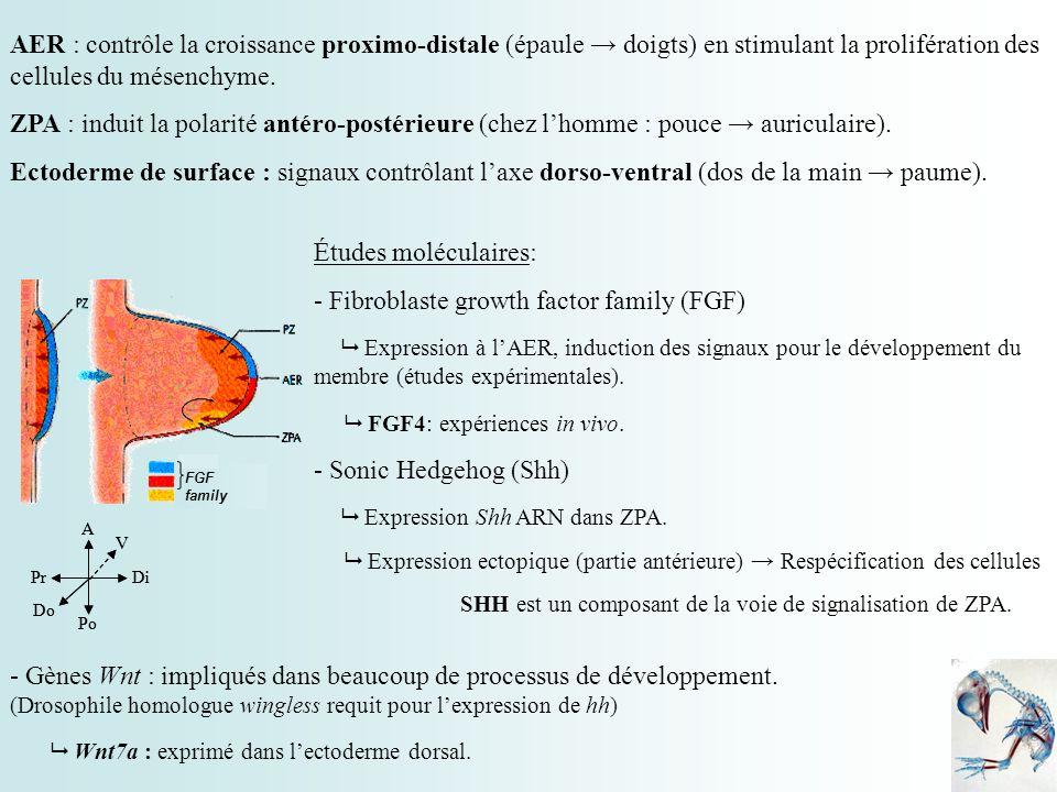 FGF family AER : contrôle la croissance proximo-distale (épaule doigts) en stimulant la prolifération des cellules du mésenchyme. ZPA : induit la pola