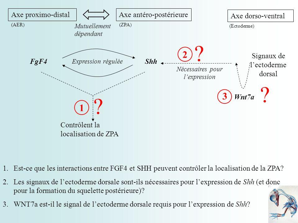 2nde étape : Influence de Wnt7a et FGF4 sur l expression de Shh Ablation de l ectoderme dorsal et de la crête apicale + Ajout de groupe de cellules exprimant Wnt7a et une source de FGF4 Expression de Shh maintenue à taux normal en présence de Wnt7a et FGF4.