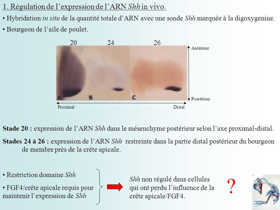 3ème étape : Influence de Wnt7a sur l expression ectopique de Shh Ablation de l ectoderme dorsal + Ajout d une source de Wnt7a (rétrovirus ou groupe de cellules) et une source de FGF4 RetrovirusGroupe de cellules Expression de Shh dans une zone proche de la source de FGF4.