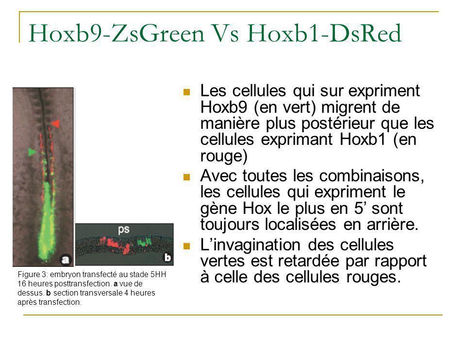 Hoxb9-ZsGreen Vs Hoxb1-DsRed Les cellules qui sur expriment Hoxb9 (en vert) migrent de manière plus postérieur que les cellules exprimant Hoxb1 (en rouge) Avec toutes les combinaisons, les cellules qui expriment le gène Hox le plus en 5 sont toujours localisées en arrière.