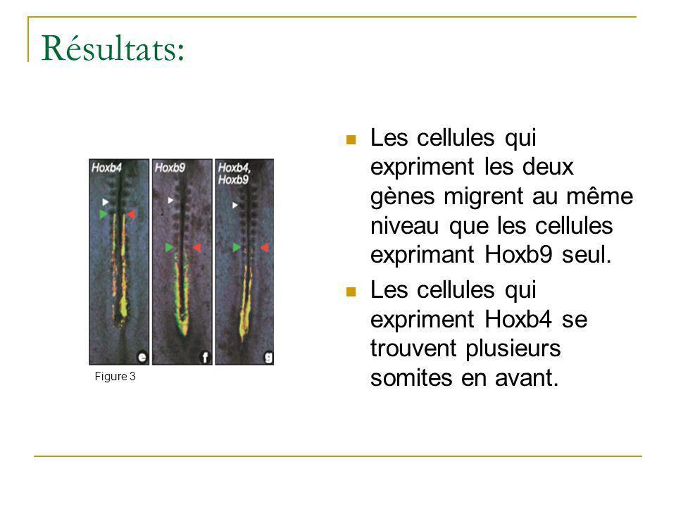 Résultats: Les cellules qui expriment les deux gènes migrent au même niveau que les cellules exprimant Hoxb9 seul.