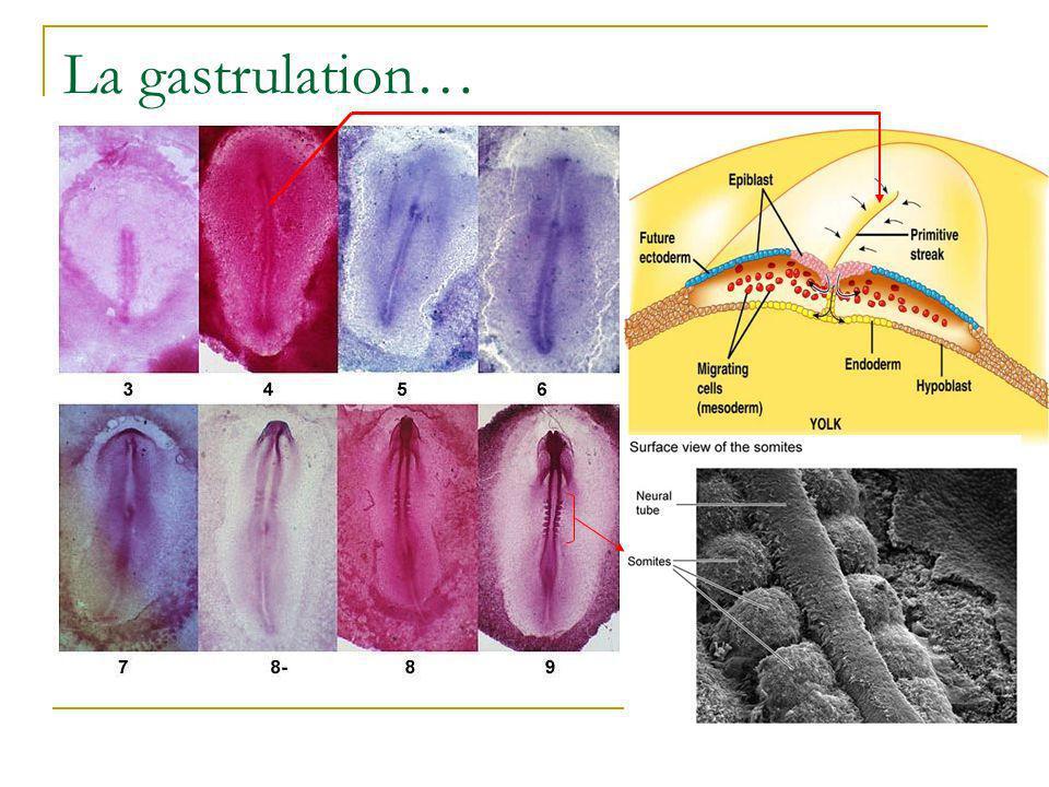 Embryon précoce recevant une greffe dembryon tardif: Les cellules de la greffe hétérochronique migrent à un niveau plus postérieur que les cellules du contrôle.