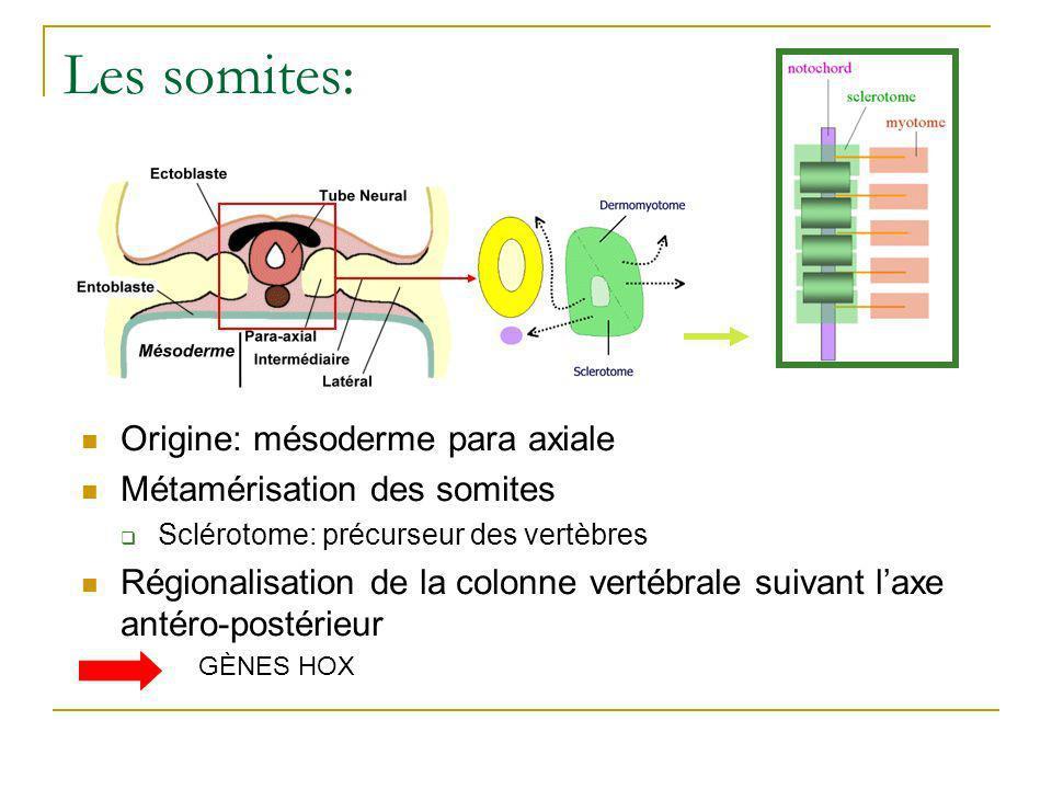Les somites: Origine: mésoderme para axiale Métamérisation des somites Sclérotome: précurseur des vertèbres Régionalisation de la colonne vertébrale suivant laxe antéro-postérieur GÈNES HOX