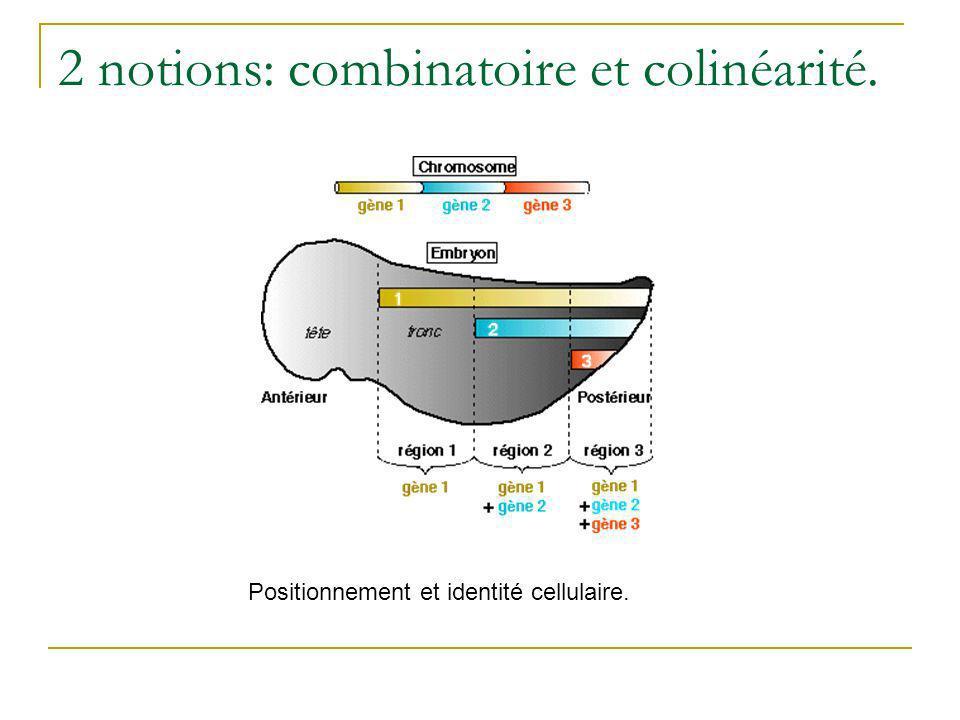 Discussion: A un temps définit, linvagination des cellules de lépiblaste est contrôlée par le gène Hox le plus en 5 que les cellules expriment.