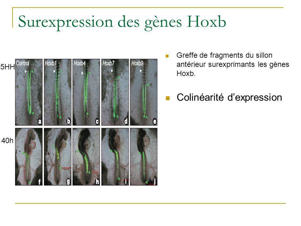 Surexpression des gènes Hoxb Greffe de fragments du sillon antérieur surexprimants les gènes Hoxb.