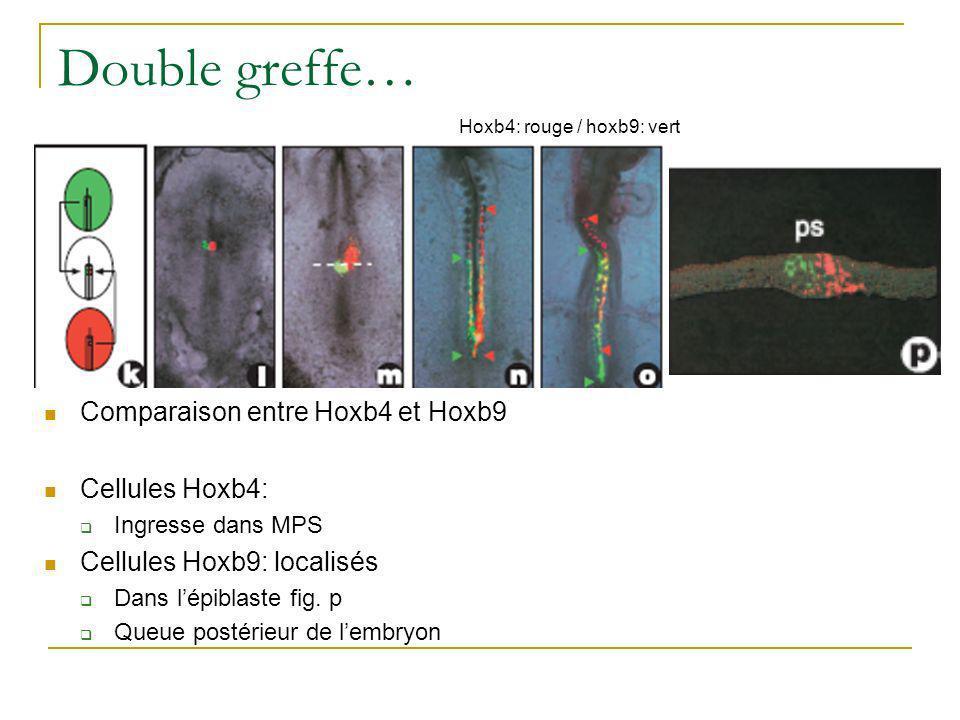 Double greffe (2)… Comparaison entre hoxb1 vert et du même coté hoxb9 rouge Très tôt ingression de cellules hoxb1 Hoxb9 reste localisé dans lépiblaste Après 28h, cellules hoxb1 plus ant que hoxb9