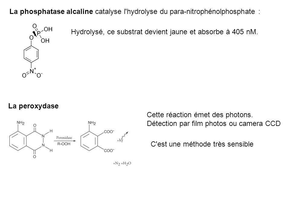 La phosphatase alcaline catalyse l'hydrolyse du para-nitrophénolphosphate : Hydrolysé, ce substrat devient jaune et absorbe à 405 nM. La peroxydase Ce