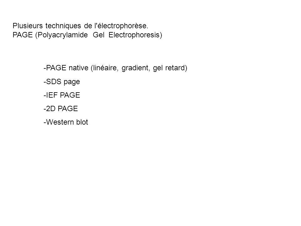 Plusieurs techniques de l'électrophorèse. PAGE (Polyacrylamide Gel Electrophoresis) -PAGE native (linéaire, gradient, gel retard) -SDS page -IEF PAGE