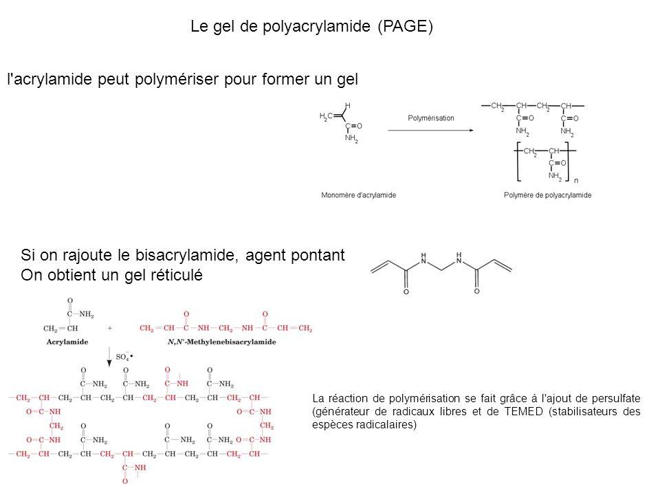 Le gel de polyacrylamide (PAGE) l acrylamide peut polymériser pour former un gel Si on rajoute le bisacrylamide, agent pontant On obtient un gel réticulé La réaction de polymérisation se fait grâce à l ajout de persulfate (générateur de radicaux libres et de TEMED (stabilisateurs des espèces radicalaires)
