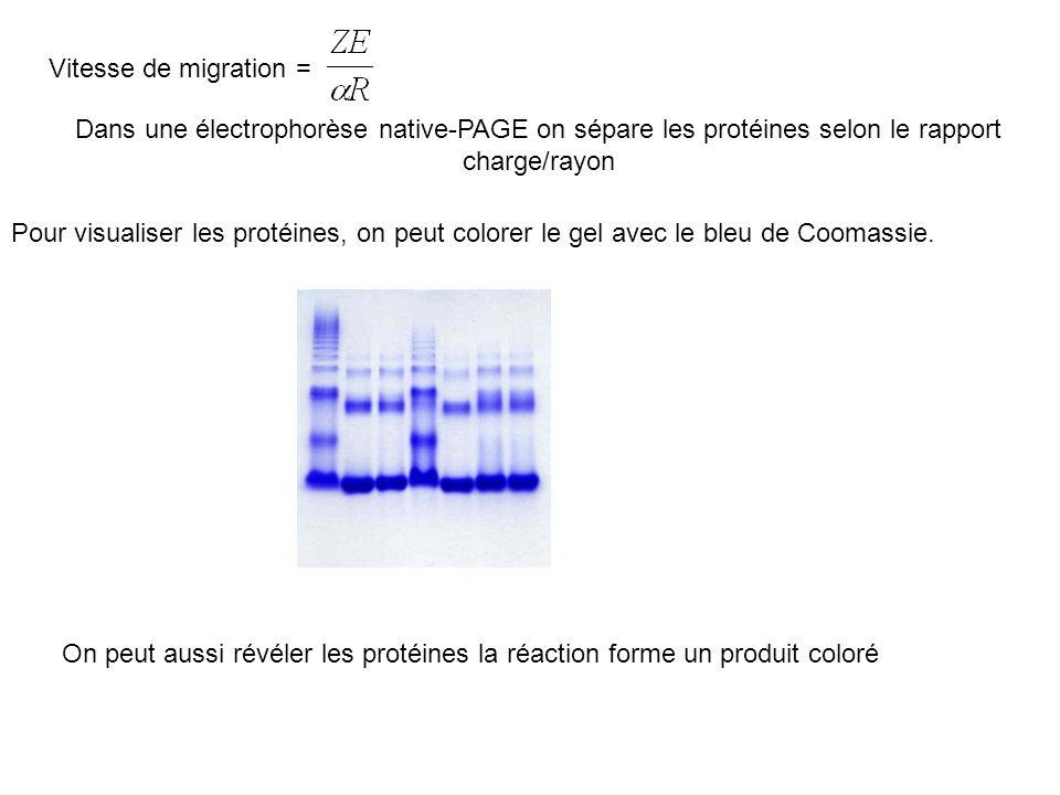 Vitesse de migration = Dans une électrophorèse native-PAGE on sépare les protéines selon le rapport charge/rayon Pour visualiser les protéines, on peut colorer le gel avec le bleu de Coomassie.