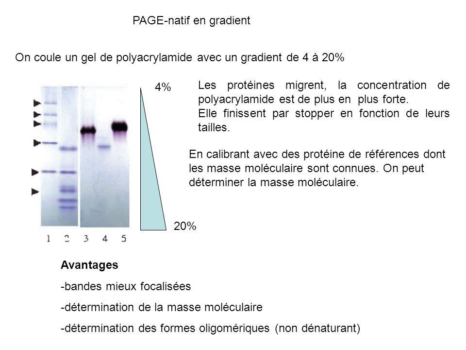 PAGE-natif en gradient On coule un gel de polyacrylamide avec un gradient de 4 à 20% 4% 20% Les protéines migrent, la concentration de polyacrylamide est de plus en plus forte.