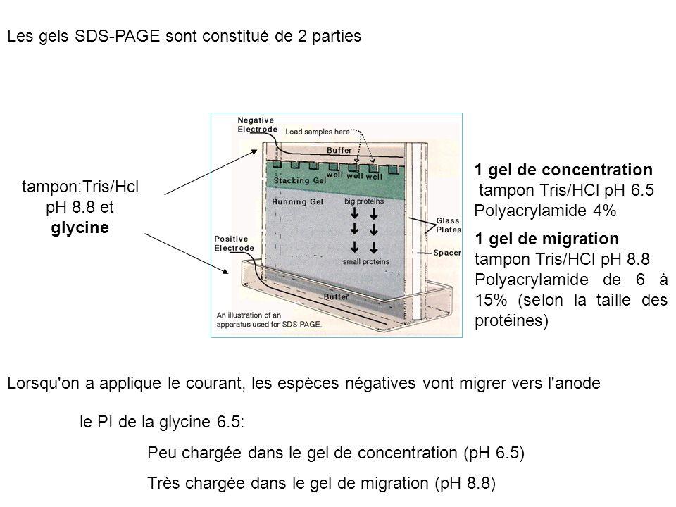 Les gels SDS-PAGE sont constitué de 2 parties 1 gel de concentration tampon Tris/HCl pH 6.5 Polyacrylamide 4% 1 gel de migration tampon Tris/HCl pH 8.8 Polyacrylamide de 6 à 15% (selon la taille des protéines) tampon:Tris/Hcl pH 8.8 et glycine Lorsqu on a applique le courant, les espèces négatives vont migrer vers l anode le PI de la glycine 6.5: Peu chargée dans le gel de concentration (pH 6.5) Très chargée dans le gel de migration (pH 8.8)