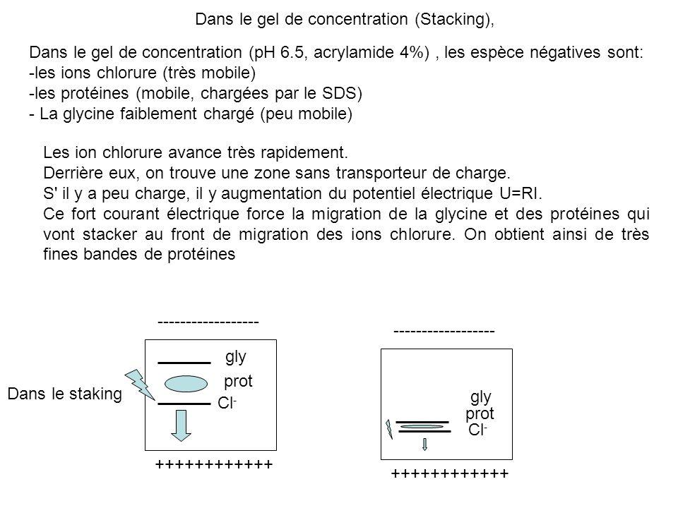Dans le gel de concentration (pH 6.5, acrylamide 4%), les espèce négatives sont: -les ions chlorure (très mobile) -les protéines (mobile, chargées par le SDS) - La glycine faiblement chargé (peu mobile) Cl - Les ion chlorure avance très rapidement.