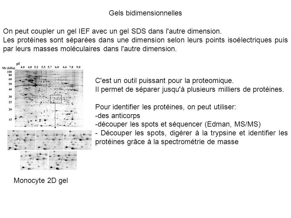 Gels bidimensionnelles On peut coupler un gel IEF avec un gel SDS dans l'autre dimension. Les protéines sont séparées dans une dimension selon leurs p
