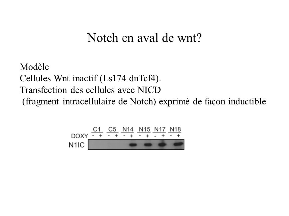 Notch en aval de wnt? Modèle Cellules Wnt inactif (Ls174 dnTcf4). Transfection des cellules avec NICD (fragment intracellulaire de Notch) exprimé de f