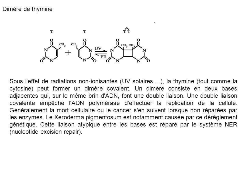 Dimère de thymine Sous l'effet de radiations non-ionisantes (UV solaires...), la thymine (tout comme la cytosine) peut former un dimère covalent. Un d