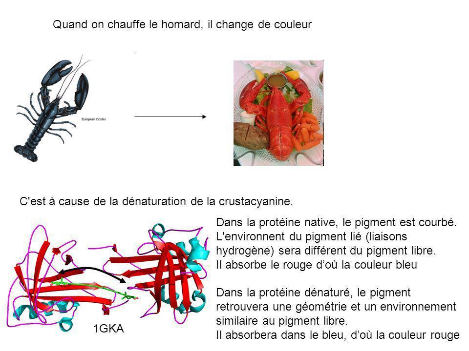 Quand on chauffe le homard, il change de couleur C'est à cause de la dénaturation de la crustacyanine. Dans la protéine native, le pigment est courbé.