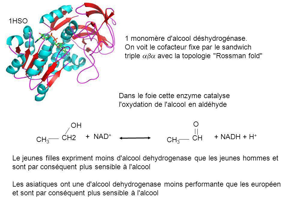 1 monomère d'alcool déshydrogénase. On voit le cofacteur fixe par le sandwich triple avec la topologie