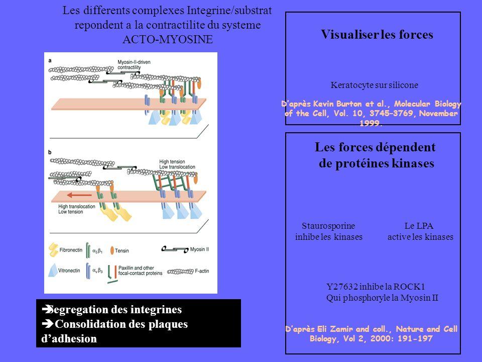 Keratocyte sur silicone Visualiser les forces Les forces dépendent de protéines kinases Staurosporine inhibe les kinases Le LPA active les kinases Y27
