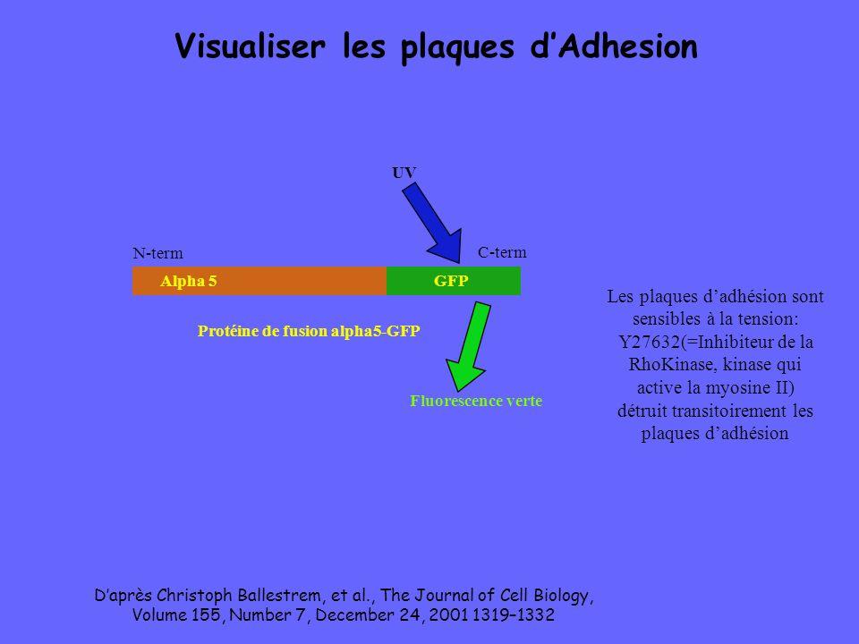 Alpha 5GFP Protéine de fusion alpha5-GFP N-term C-term Visualiser les plaques dAdhesion UV Fluorescence verte Les plaques dadhésion sont sensibles à l