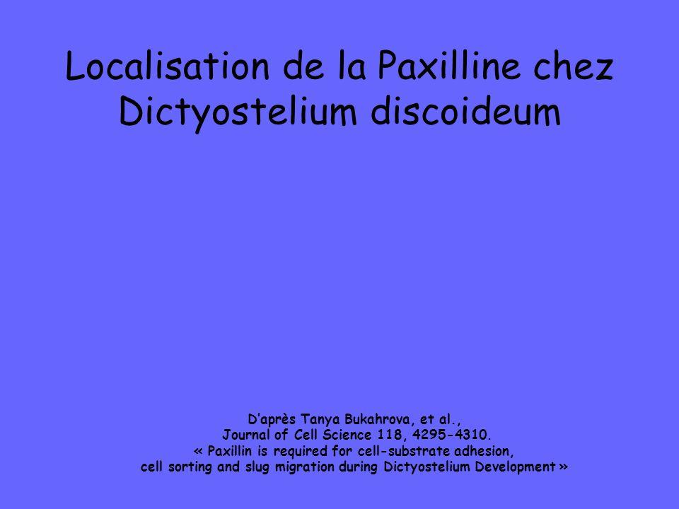 Localisation de la Paxilline chez Dictyostelium discoideum Daprès Tanya Bukahrova, et al., Journal of Cell Science 118, 4295-4310. « Paxillin is requi