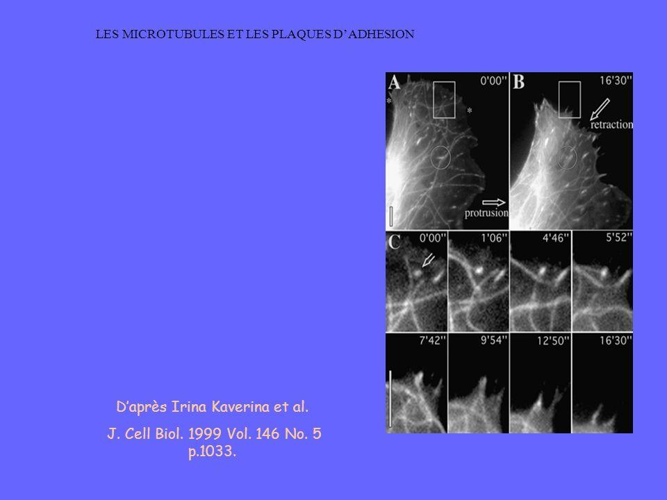 LES MICROTUBULES ET LES PLAQUES DADHESION Daprès Irina Kaverina et al. J. Cell Biol. 1999 Vol. 146 No. 5 p.1033.