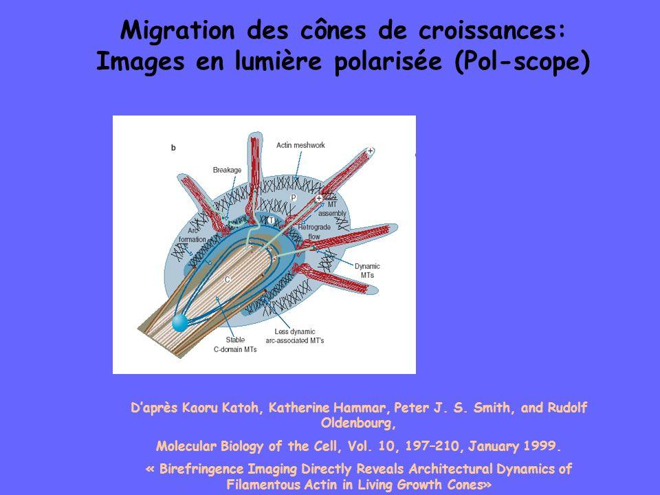 Migration des cônes de croissances: Images en lumière polarisée (Pol-scope) Daprès Kaoru Katoh, Katherine Hammar, Peter J. S. Smith, and Rudolf Oldenb