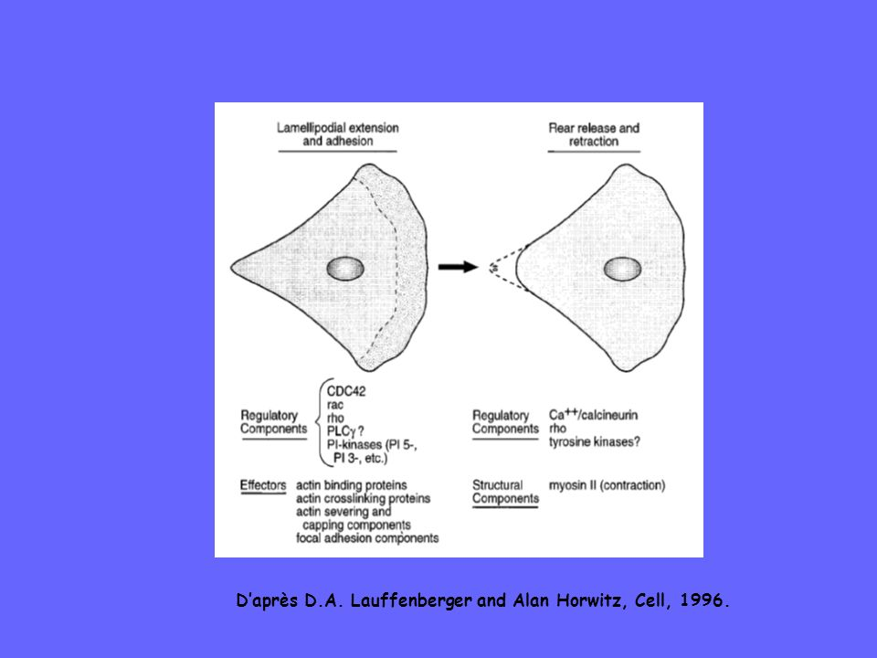Daprès D.A. Lauffenberger and Alan Horwitz, Cell, 1996.