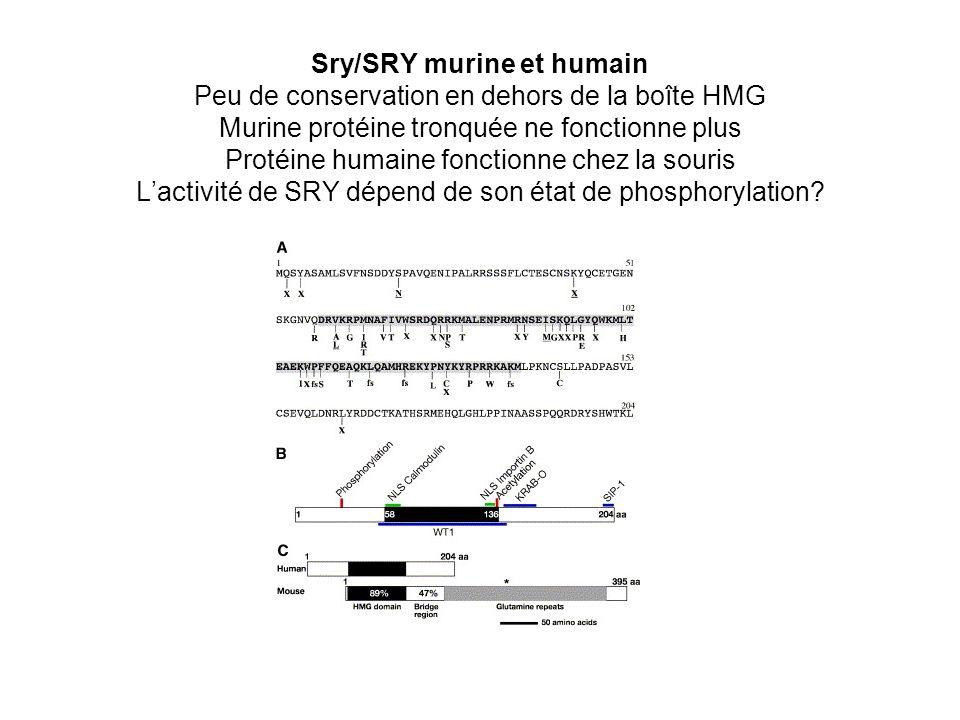 Sry/SRY murine et humain Peu de conservation en dehors de la boîte HMG Murine protéine tronquée ne fonctionne plus Protéine humaine fonctionne chez la