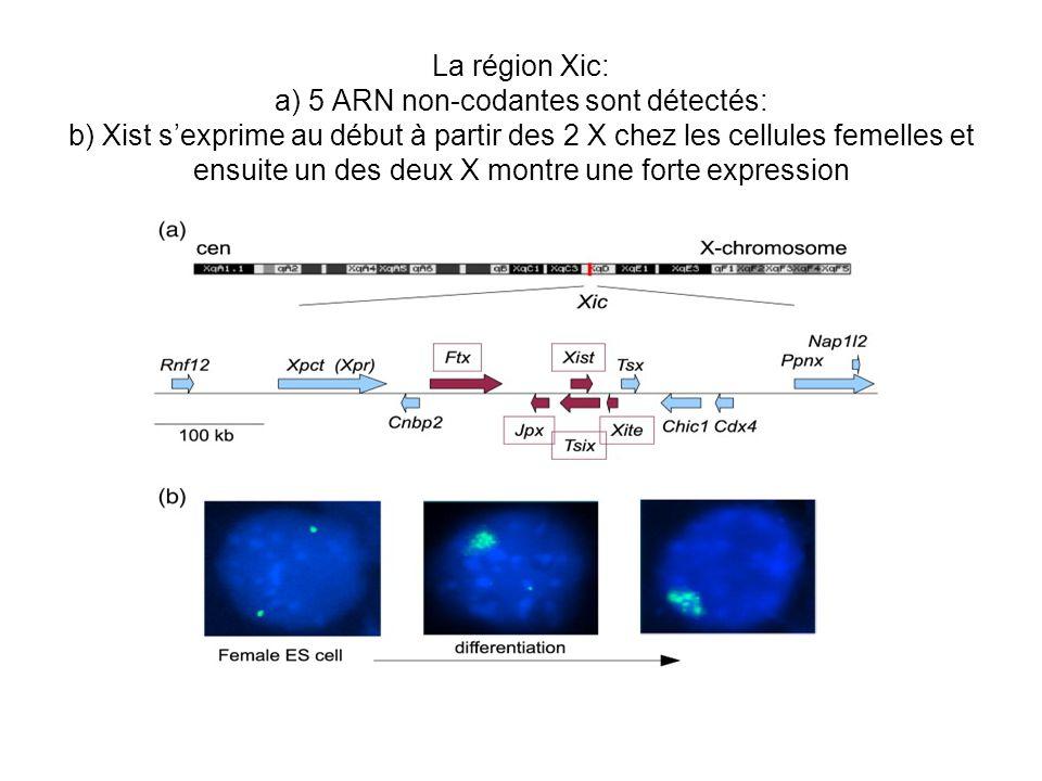 La région Xic: a) 5 ARN non-codantes sont détectés: b) Xist sexprime au début à partir des 2 X chez les cellules femelles et ensuite un des deux X mon