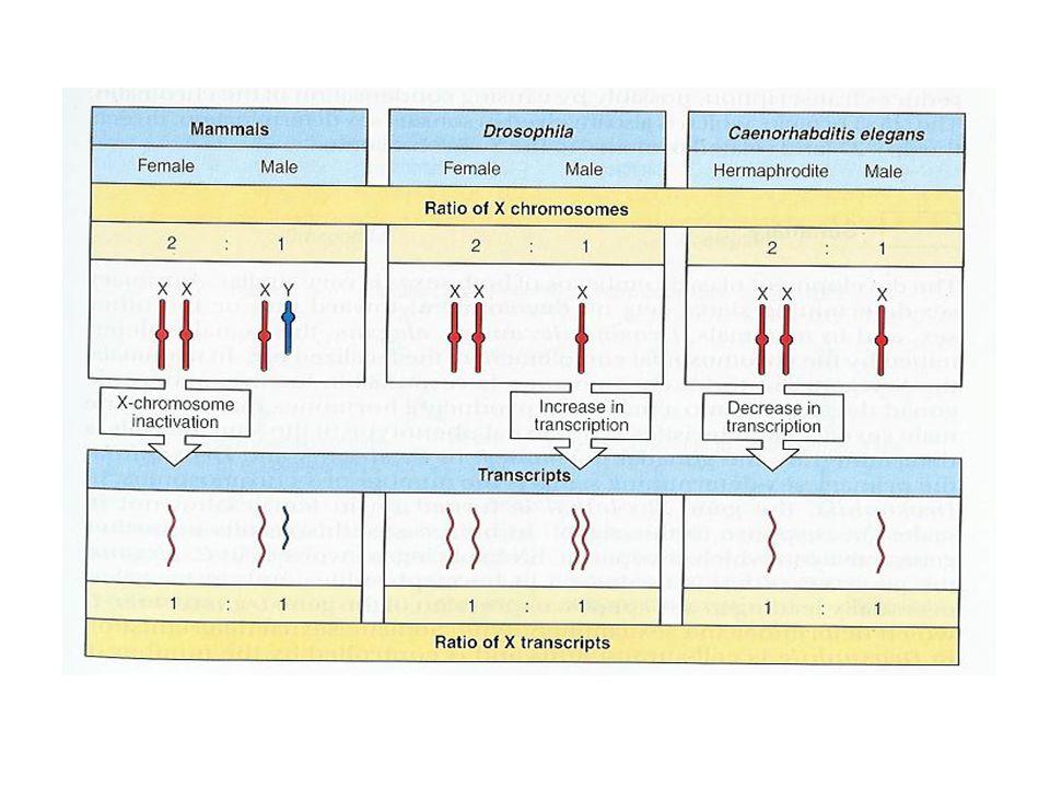 Le sexe est déterminé par le gonade XX:développement des ovaires système Mullerian organes génitaux femelle XY:développement des testicules Système Wolffian organes génitaux mâle Enlève les gonades avant que le sexe soit déterminé: -chez les souris XX et XY développement du système Mullerian Greffe dun testicule à coté dune ovaire à 12 jours: -Wolffian développe et le Mullerian disparaît.