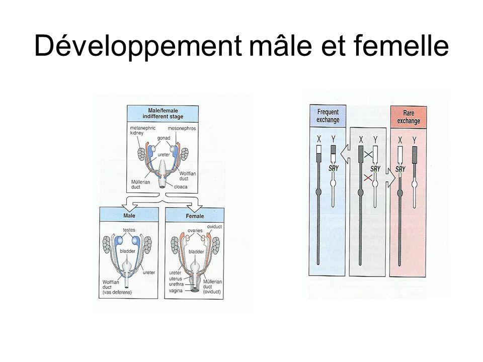 La région Xic: a) 5 ARN non-codantes sont détectés: b) Xist sexprime au début à partir des 2 X chez les cellules femelles et ensuite un des deux X montre une forte expression